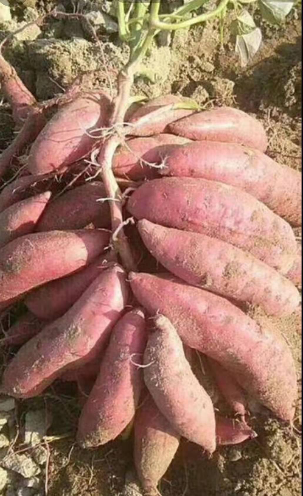 龍薯九號 長期出售各種地瓜,價格合理,品質優良,歡迎新老客戶前來訂購