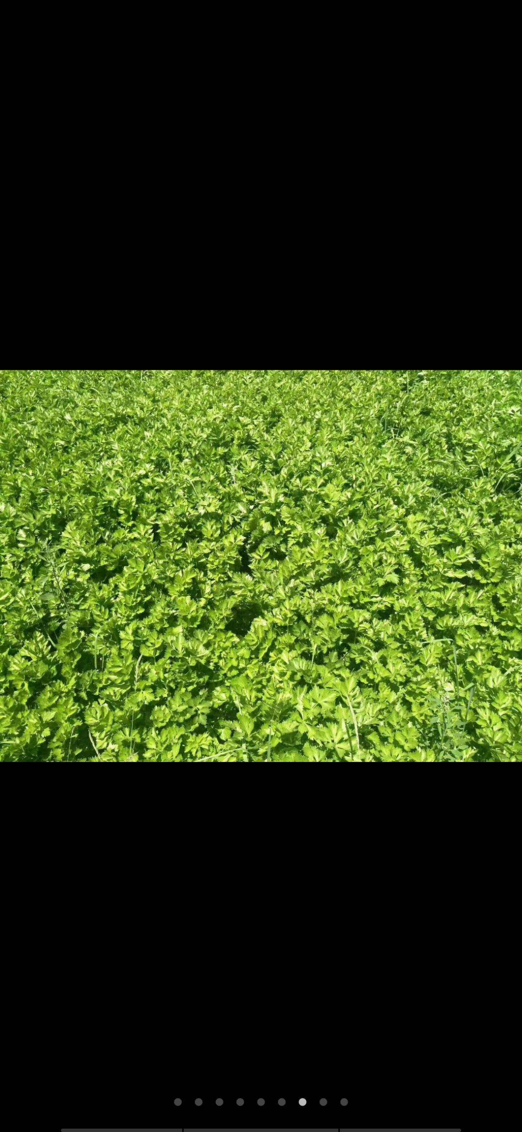 西芹 40~45cm 0.5斤以下 露天种植