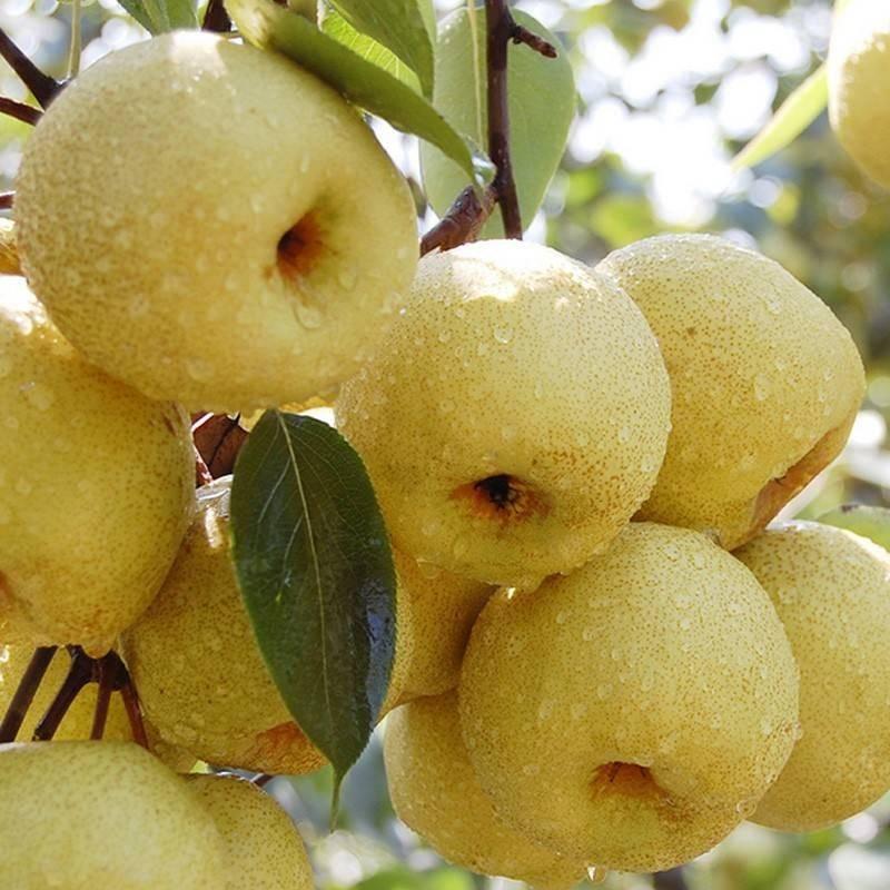 安徽砀山酥梨