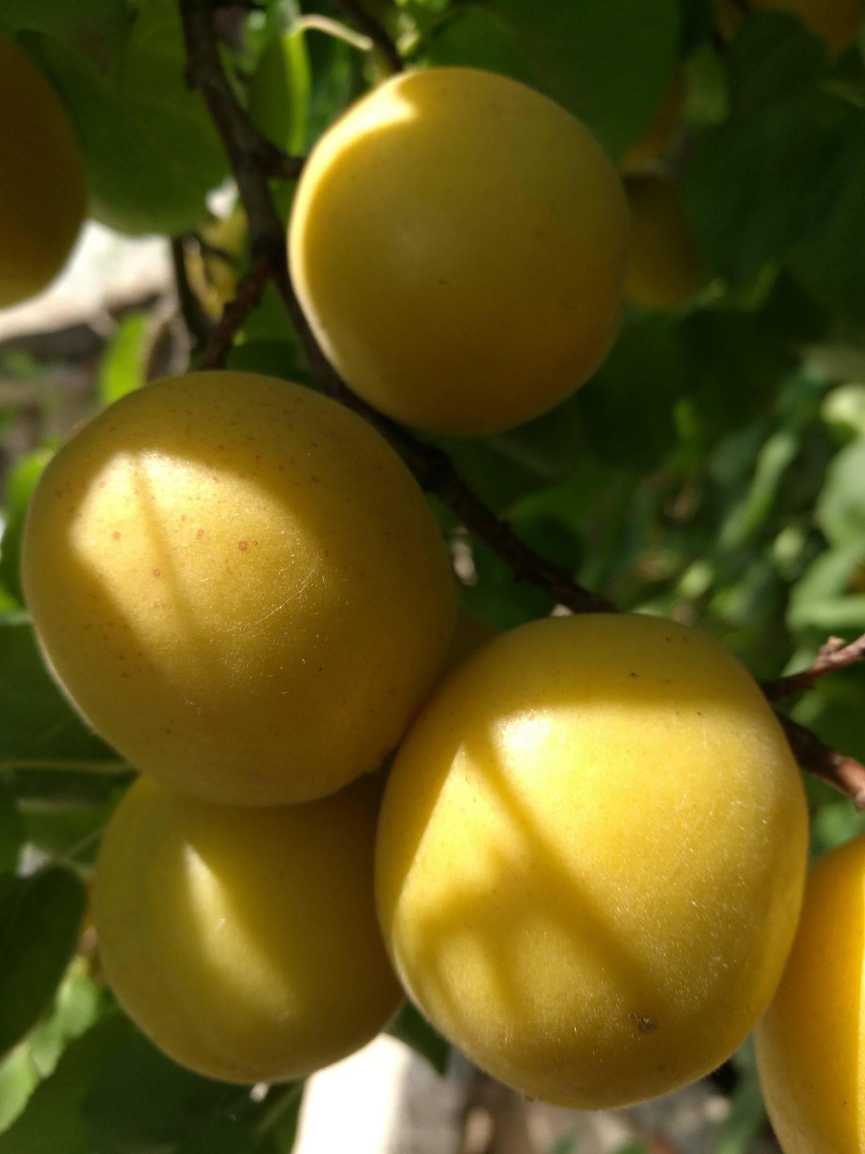 新品種杏樹苗 荷蘭香蜜杏