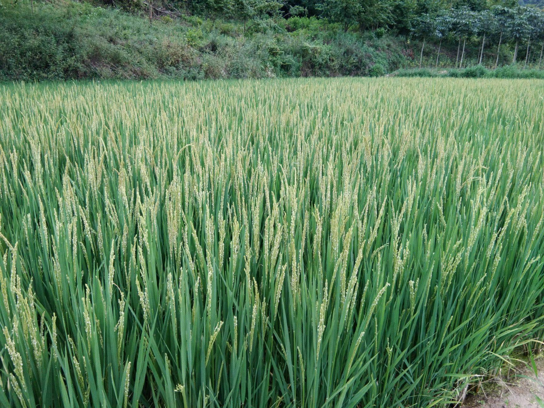 乡土源 高山原生态大米