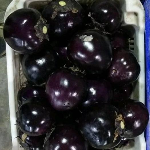 莘县紫光圆茄 圆茄大量供应