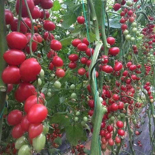 寿光市 抗病毒圣女果苗 千禧 贝贝 樱桃番茄苗子