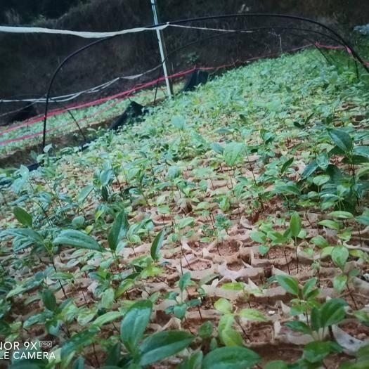 玉林北流市 土茯苓苗,赤茯苓苗货亮量足