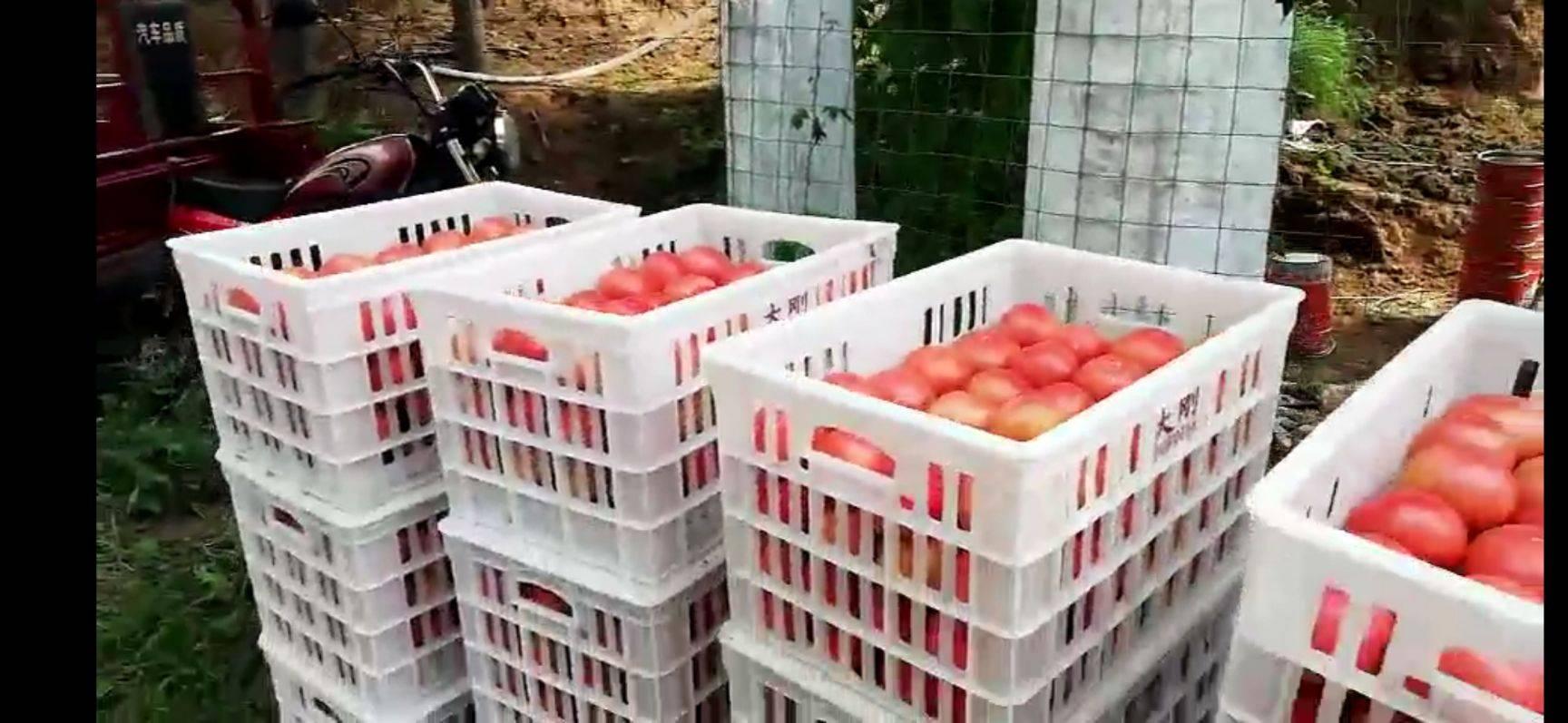 旱地西红柿 通货 弧二以上 黛粉