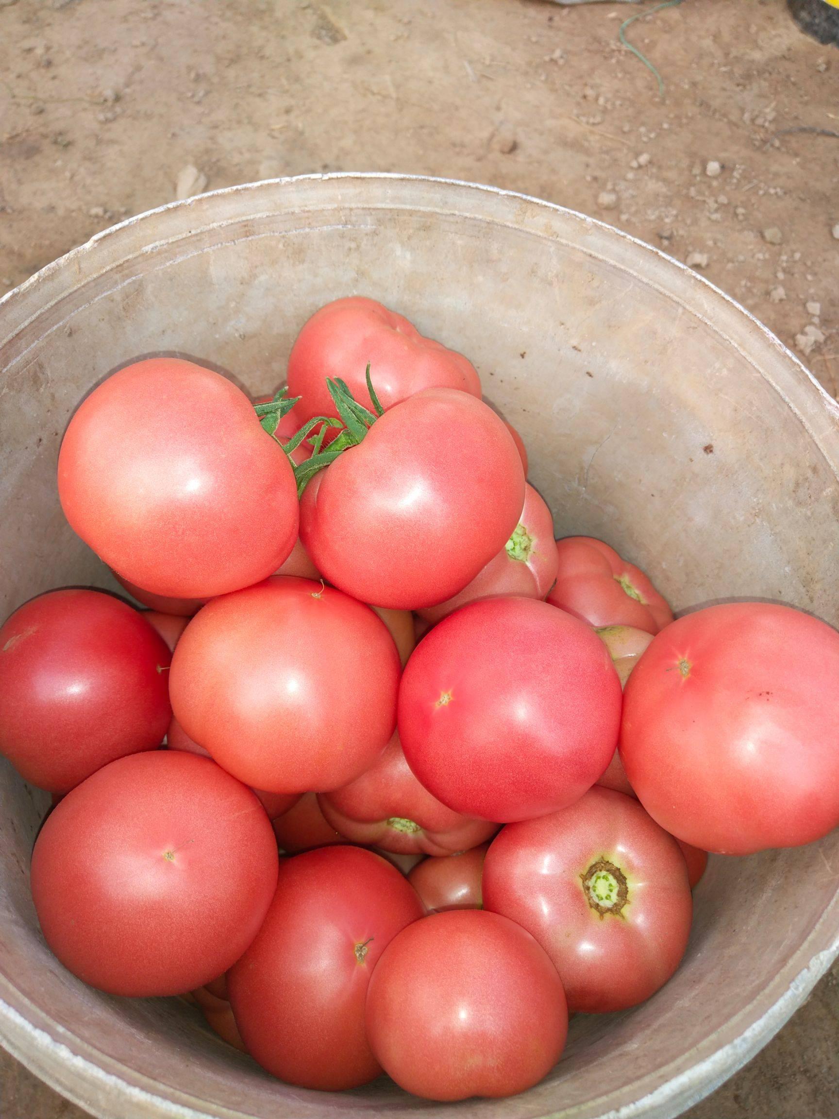 粉果番茄 通货 弧二以上 硬粉