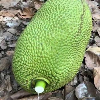 【网红爆款】海南三亚菠萝蜜约20斤超低价 包邮
