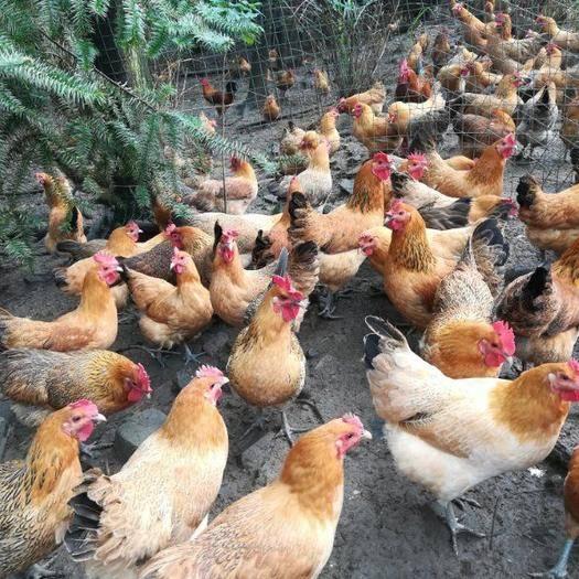衡陽蒸湘區 熱銷優質蛋雞苗跑山雞苗另有黃土雞苗五黑雞苗高產蛋雞