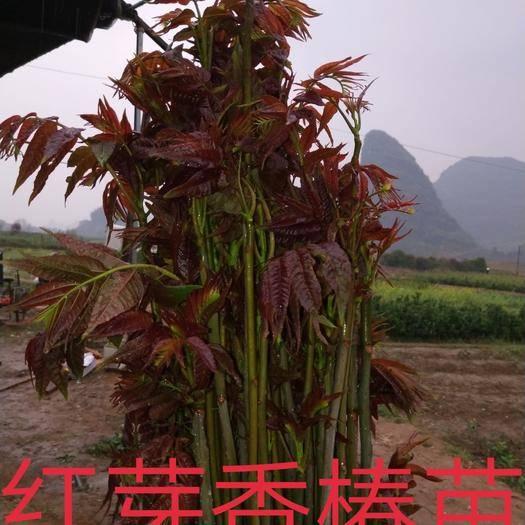 桂林阳朔县 红芽香椿苗