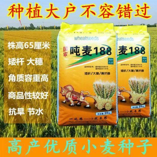 石家莊新華區 超級小麥良種大田高產優質小麥種子抗旱節水矮桿大穗