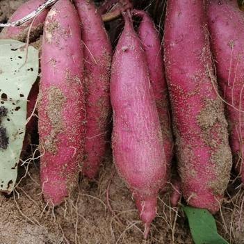 六鳌地瓜 正宗西瓜红沙地红心地瓜红蜜薯非北京红非英哥