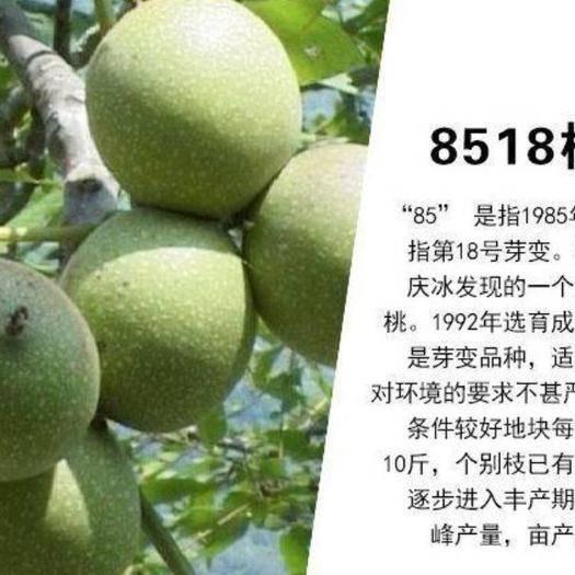 平邑县 8518核桃苗 皮薄 结果早  产量高 现挖苗 保湿发货