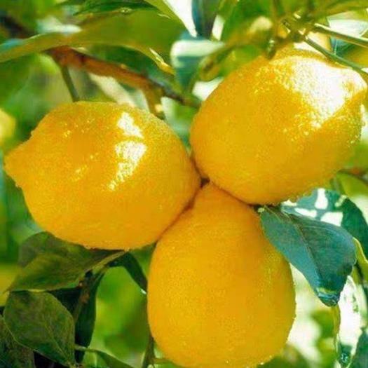 平邑县 香水柠檬苗 保证品种苗  基地直供  量大优惠