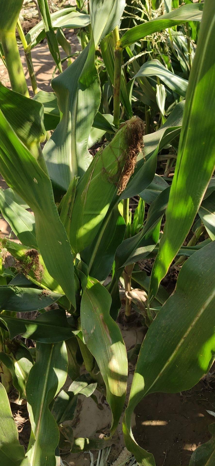 甜糯玉米 阳曲县种植大户糯玉米水果玉米都有欢迎采购