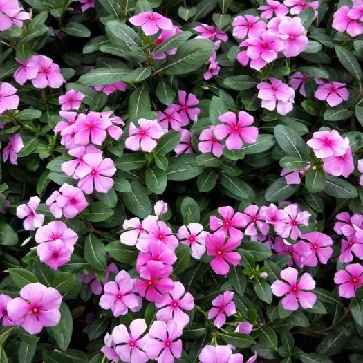 潍坊青州市长春花种子 长春花 天天开 绿化苗木 工程苗木 观花植物 花卉盆景