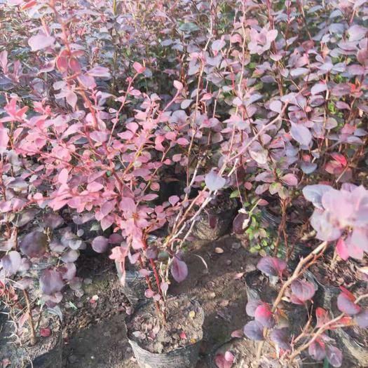 鐵嶺紅葉小檗 紫葉小檗杯苗還有大地苗及播種小苗