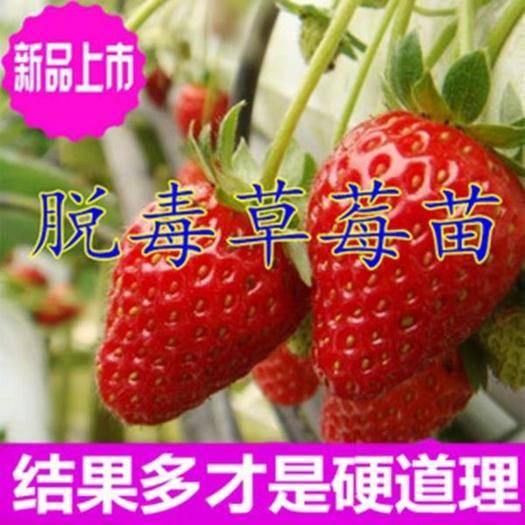 平邑县 脱毒草莓苗奶油红颜草莓盆栽地栽当年结果南北方庭院阳台种植
