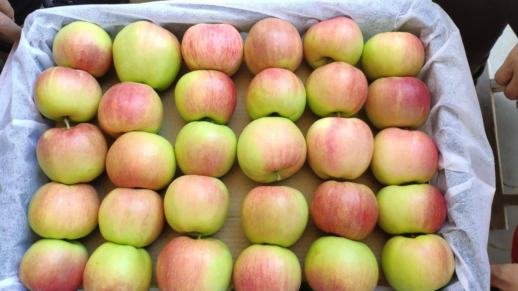 晨阳苹果 商品果,无残次品