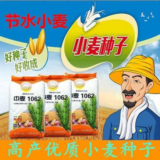 石家莊新華區 中麥1062優質高產小麥種子產量高抗病矮桿大穗抗倒抗旱小麥新