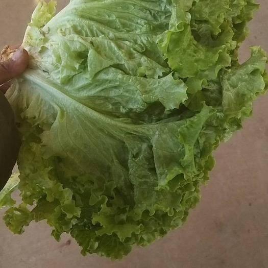 邯郸永年区 大量供应,精品青叶,黄叶生菜