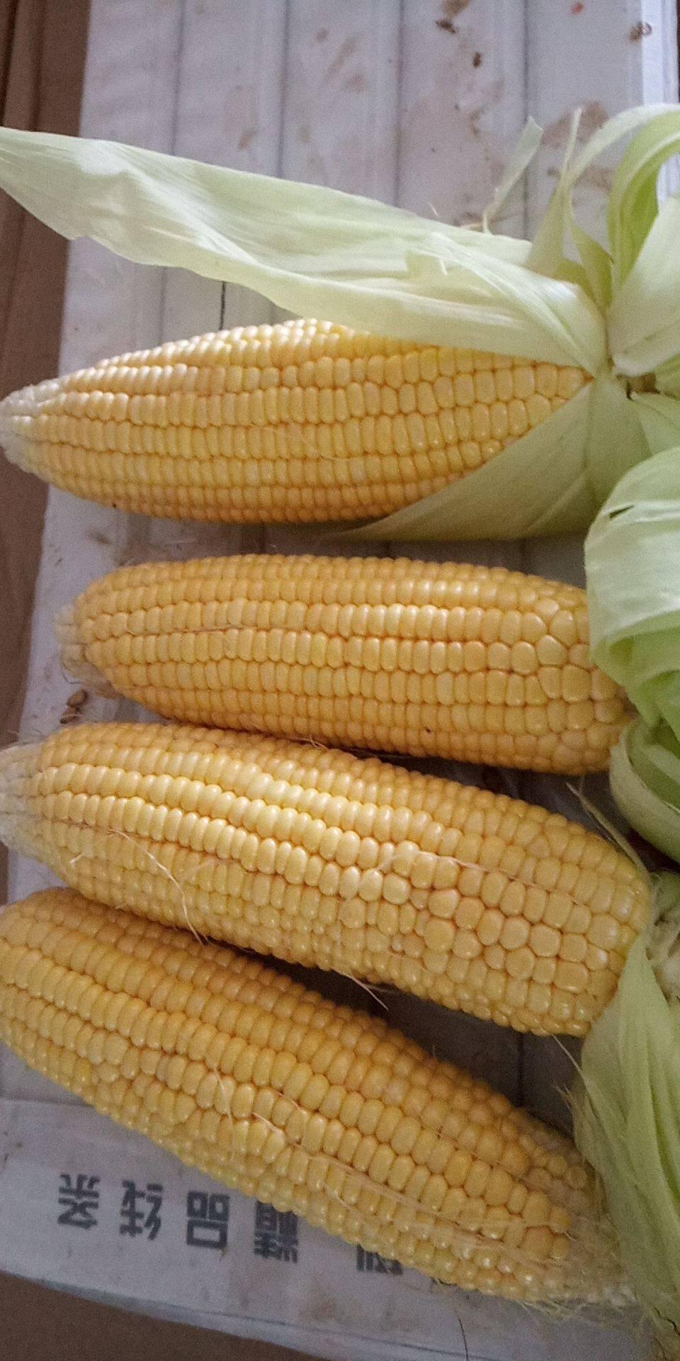 太阳3号玉米 甜 带壳