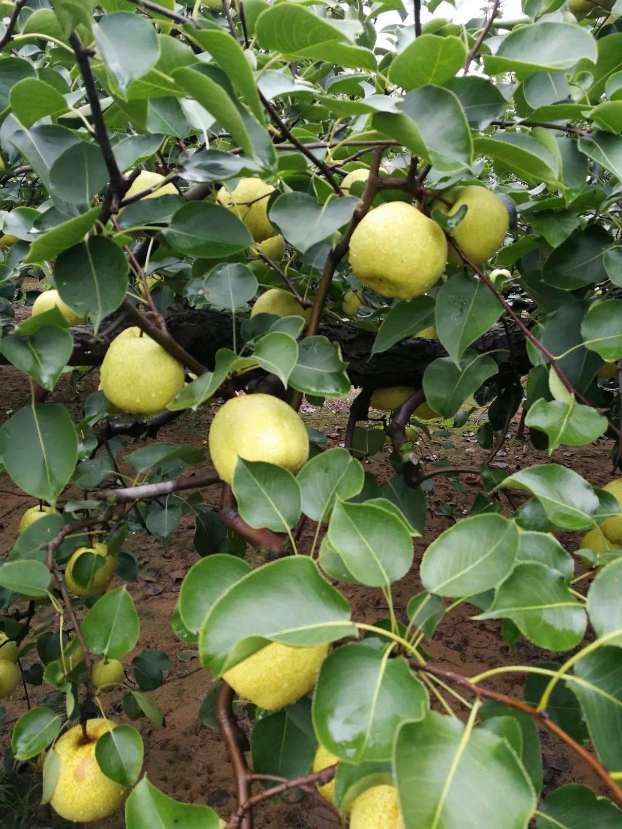 白梨 自家种的  脆甜可口