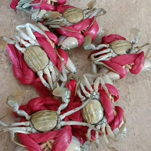 漳州诏安县 一级 青蟹,肉蟹,燕母,奄仔蟹