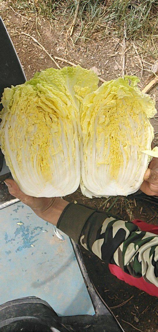 甘肅張掖黃心娃娃菜9月15號左右開始大量上市