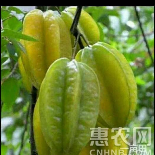 湛江廉江市 紅楊桃是南方熱帶水果之一,熟后綠黃色,口感脆甜爽口,