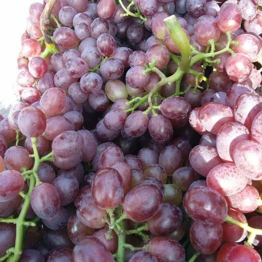 平度市 山东平度市大泽山葡萄有玫瑰香和泽山一号葡萄,上市了欢迎洽谈。