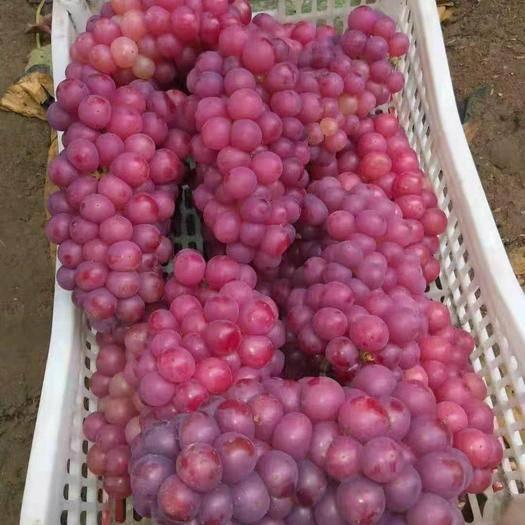 临朐县 临朐县粉色套袋抱穗大颗粒肉质巨峰葡萄