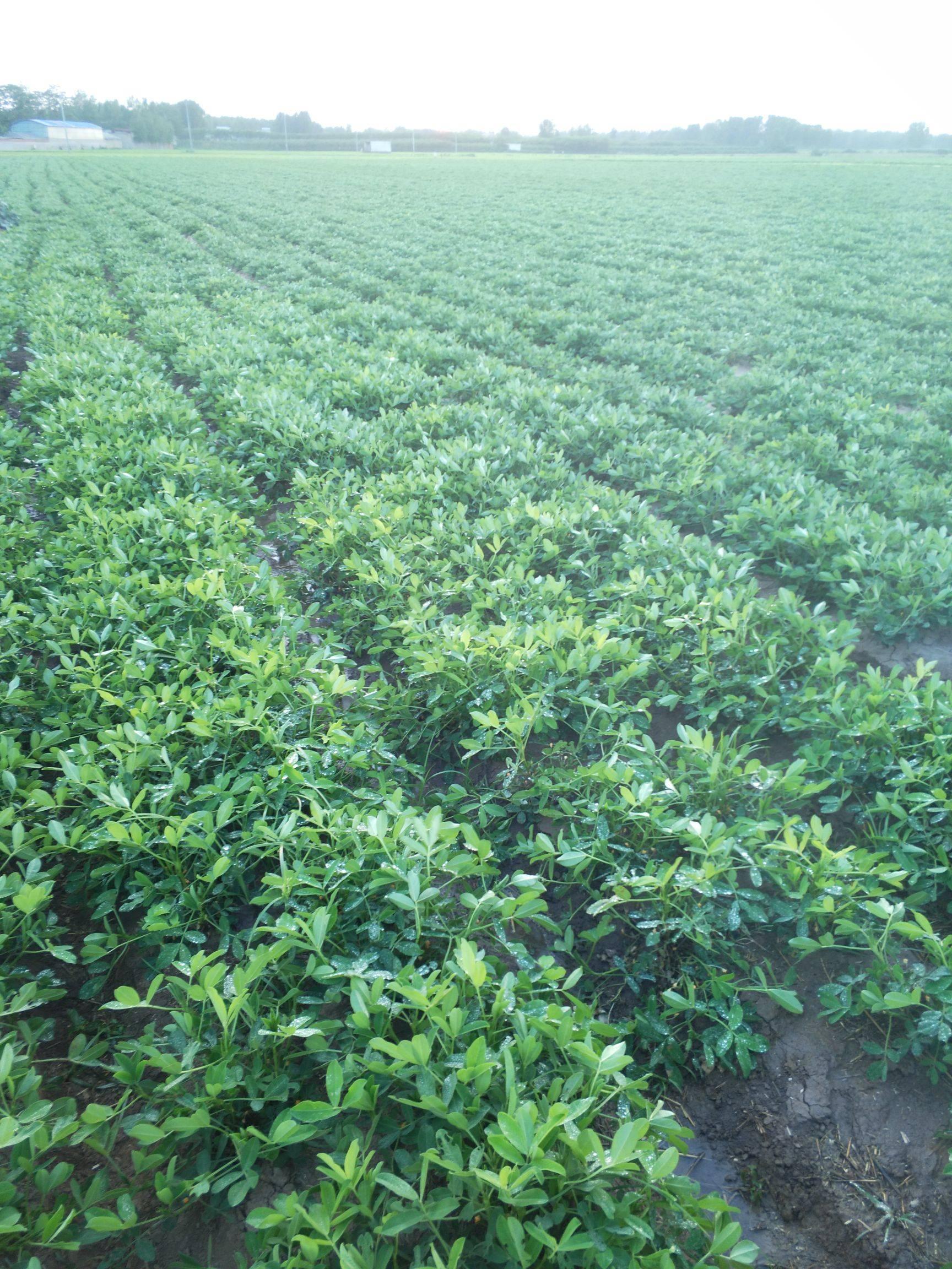 吨花一号优质花生种,亩产一千五百斤