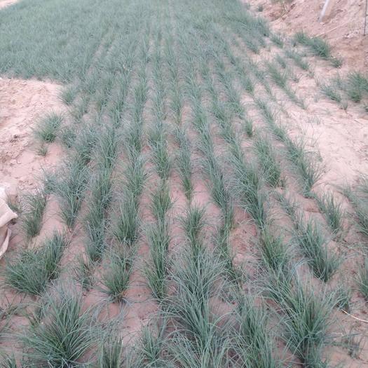 甘肃省武威市民勤县 这自家种的沙葱品质好,养生
