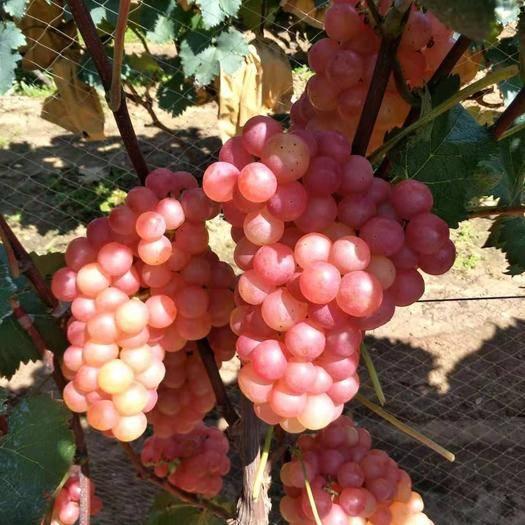 临朐县 好吃的葡萄,便宜又好吃,无籽葡萄