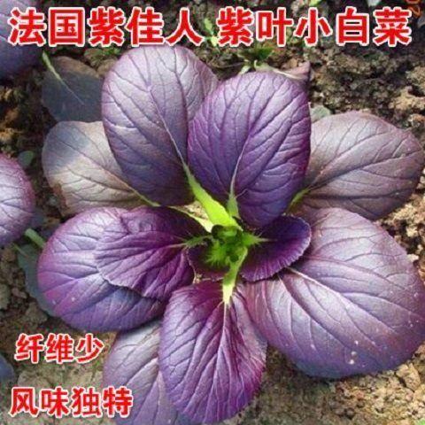 唐山迁安市紫油菜种子 紫罗兰白菜种子进口法国紫罗兰肉质细嫩无渣一袋4000粒装包邮