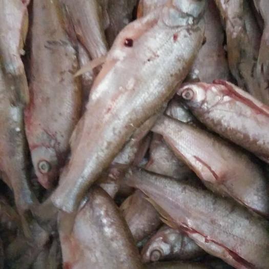 赣州南康区翘嘴红鲌 翘嘴鱼
