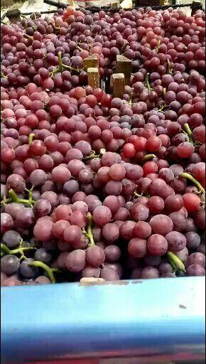 威县 河北威县巨峰葡萄、万亩葡萄园欢迎您来采购