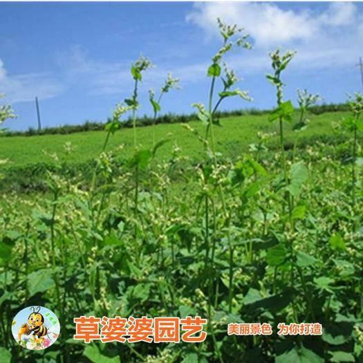 宿迁沭阳县 荞麦种子苦荞麦种子新种子包邮