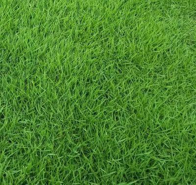 宿迁沭阳县狗牙根种子 狗牙根道路绿化地毯草坪种子