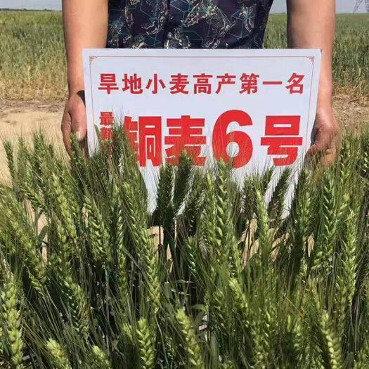 泰安肥城市小麥種子 銅麥6號耐鹽堿,耐貧瘠,旱地小麥高產第一名