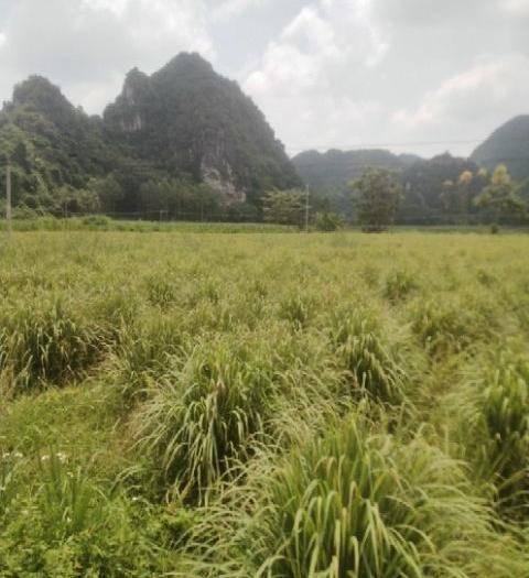 广西壮族自治区南宁市武鸣区 百亩香茅草新鲜上市