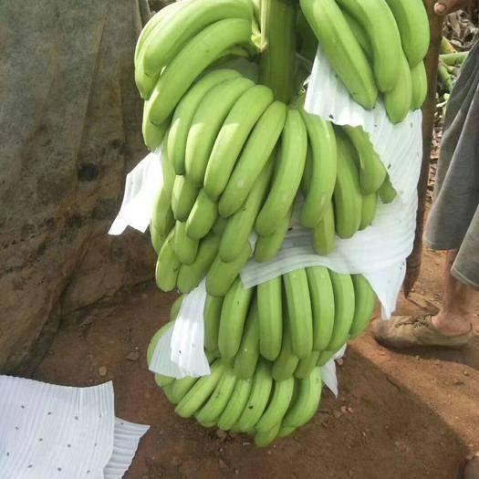 湛江广东香蕉2号 七成熟