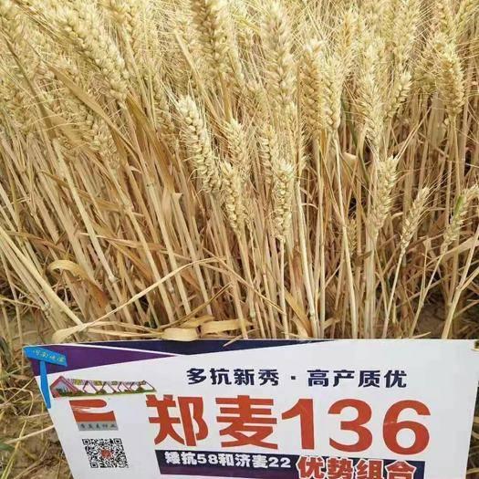 泰安肥城市 小麥種子, 國審(高抗高產)第一麥鄭麥136