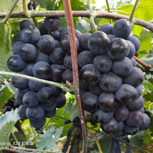 玉田县 葡萄粒大果甜,质量好,供应量大,价格实惠