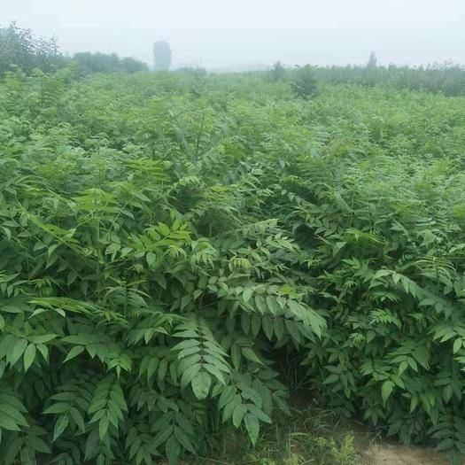 泰安岱岳区红油香椿苗 2公分以下