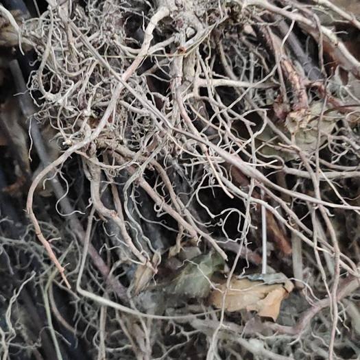 黔东从江县草珊瑚种子