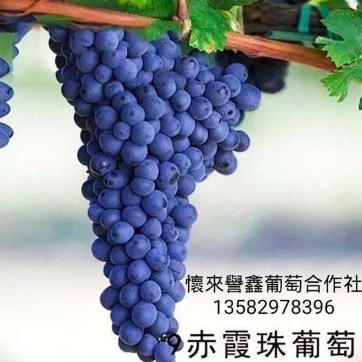 怀来县 怀来赤霞珠酿酒葡萄,精选优质老藤赤霞珠葡萄20斤装