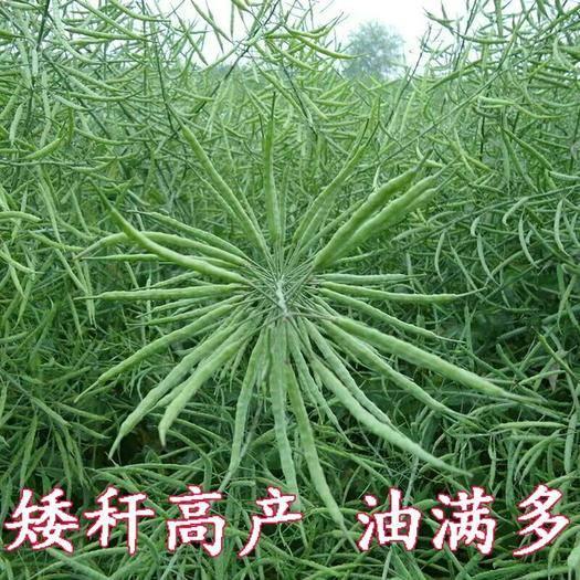 宜春樟樹市 中油821甘藍型雜交油菜籽種子高產抗病矮桿抗倒油率高適應性廣