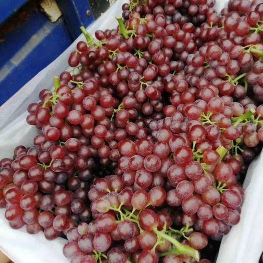 广宗县红宝石葡萄 精品红宝石大量上市