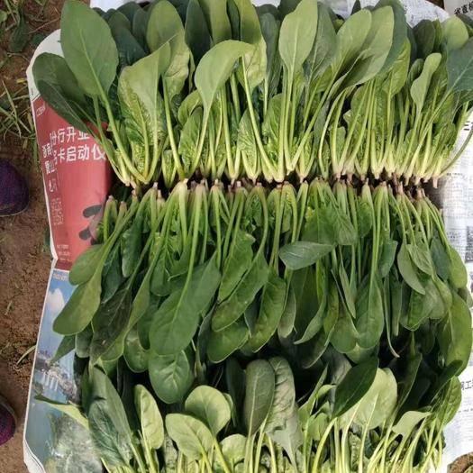 滨州惠民县 大量供应优质菠菜!20-30公分